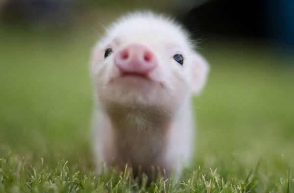 animal-pictures-pig-wallpapers-photos-pigs-wallpaper-7-1024x576